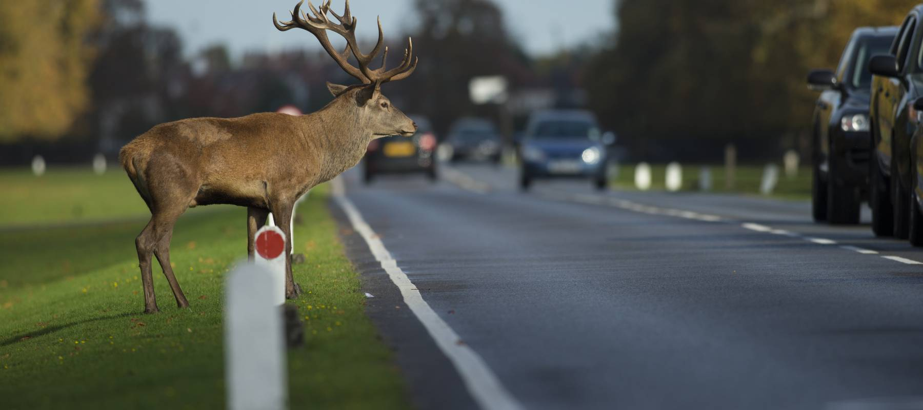 Red deer stag crossing a busy road in rush hour